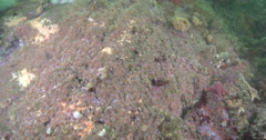 Strawberry anemones feeding in kelp forest, Corynactis californica, 4K UltraHD, Stock Footage