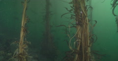 Giant kelp swaying in kelp forest, Macrocystis pyrifera, 4K UltraHD, UP33912 Stock Footage
