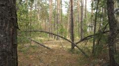 Pine wood Dollyshot. Stock Footage
