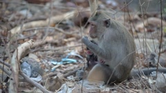 View of wild rhesus monkey in natural setting Stock Footage