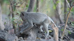 Close up of wild rhesus monkey in natural setting Stock Footage