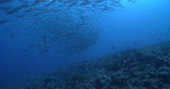 Mackeral scad swimming and schooling on deep coral reef, Decapterus macarellus, Stock Footage