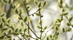 The Branches Of A Willow, Spring Stock Footage