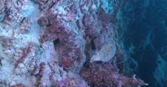 Vertical display shot of Barramundi cod looking around on deep coral rubble, Stock Footage