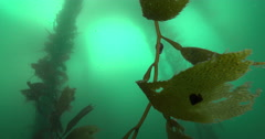 Giant kelp photosynthesising in kelp forest, Macrocystis pyrifera, 4K UltraHD, Stock Footage