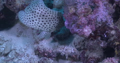 Barramundi cod hunting on deep coral rubble, Chromileptes altivelis, 4K UltraHD, Stock Footage
