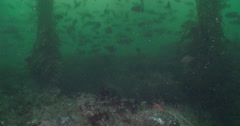 Blue rockfish swimming and schooling on rocky reef covered in seaweed and kelp, Stock Footage