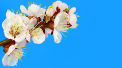 Timelapse sakura on blue - stock footage
