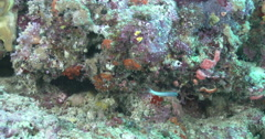 Forktail fangblenny swimming on wall, Meiacanthus atrodorsalis, 4K UltraHD, Stock Footage