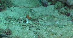 Randalls shrimpgoby keeping lookout on sand and coral rubble, Amblyeleotris Stock Footage