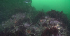 Unidentified rockfish swimming on rocky reef covered in seaweed and kelp, Stock Footage
