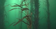 Giant kelp swaying in kelp forest, Macrocystis pyrifera, 4K UltraHD, UP33940 Stock Footage