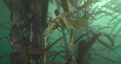 Giant kelp swaying in kelp forest, Macrocystis pyrifera, 4K UltraHD, UP33941 Stock Footage