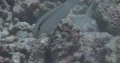 Yellowstripe goatfish feeding on rubble, Mulloidichthys flavolineatus, 4K Stock Footage