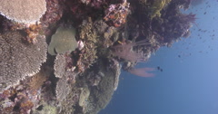Vertical display shot of Red sea whips on shallow wall, Ellisella sp., 4K Stock Footage