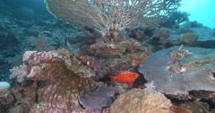 Glasseye hovering on coral reef, Heteropriacanthus cruentatus, 4K UltraHD, Stock Footage