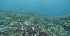 Ocean scenery lots of fish species making use of vast staghorn field in great Stock Footage