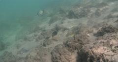 Intermediate Blackspot snapper hunting on river mouth rock wall, Lutjanus Stock Footage