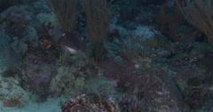 Broadclub cuttlefish swimming on coral reef, Sepia latimanus, 4K UltraHD, Stock Footage