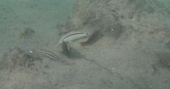 Cardinal goatfish feeding on river mouth rock wall, Parupeneus ciliatus, 4K Stock Footage