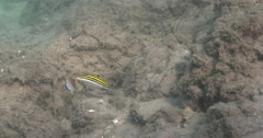 Juvenile Threadfin butterflyfish feeding on river mouth rock wall, Chaetodon Stock Footage