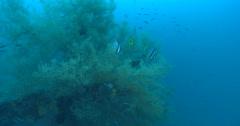 Longfin batfish hiding on coral reef, Platax pinnatus, 4K UltraHD, UP35493 Stock Footage