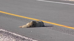 Dead Roadkill Coyote on Highway in American Southwest Desert Stock Footage