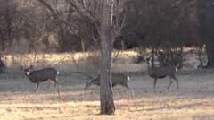 Mule Deer Herd at Carlsbad Caverns in New Mexico - stock footage