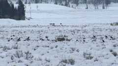Wolves Feeding on Elk Kill at Yellowstone with Bison in Background Stock Footage