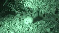 Kangaroo Rat at Night Feeding in Desert Big Bend National Park Stock Footage