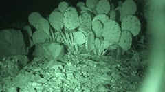 Deer Mouse Foraging in Desert by Cactus at Night Stock Footage