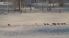 Large Wolf Pack in Winter Snow in Yellowstone National Park Stock Footage