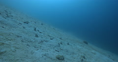 Panther flounder swaying on sandy slope, Bothus pantherinus, 4K UltraHD, UP35528 Stock Footage