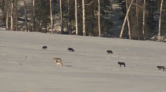 Large Pack of Wolves Walking Over Snow at Yellowstone National Park Stock Footage