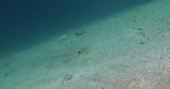 Kuhl's Ray feeding on sandy slope, Neotrygon kuhlii, 4K UltraHD, UP35532 Stock Footage