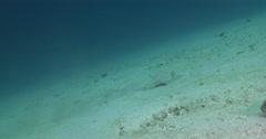 Kuhl's Ray hunting on sandy slope, Neotrygon kuhlii, 4K UltraHD, UP35533 Stock Footage