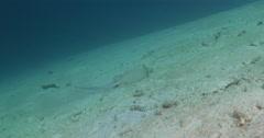 Kuhl's Ray swimming on sandy slope, Neotrygon kuhlii, 4K UltraHD, UP35534 Stock Footage