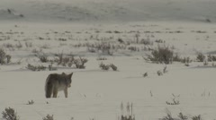 Coyote Walking Across Sagebrush Plain in Yellowstone National Park in Winter Stock Footage