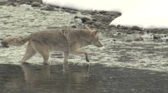 Coyote Crossing River in Snow in Yellowstone National Park in Winter - stock footage
