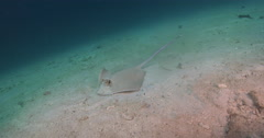 Kuhl's Ray feeding on sandy slope, Neotrygon kuhlii, 4K UltraHD, UP35537 Stock Footage