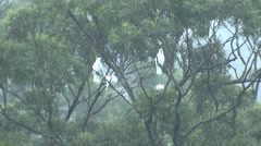 Sulpher-crested Cockatoo Flock in Eucalyptus Trees Austalia Rainforest Stock Footage
