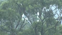 Sulpher-crested Cockatoo Flock in Eucalyptus Trees Austalia Rainforest - stock footage