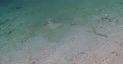 Kuhl's Ray feeding on sandy slope, Neotrygon kuhlii, 4K UltraHD, UP35538 Stock Footage
