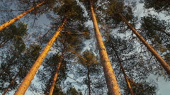 Zoom in high pine forest canopy. Stock Footage