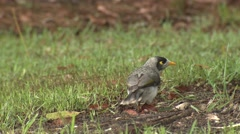 Noisy Miner Song Bird Scratching and Grooming on Lawn in Australia Stock Footage