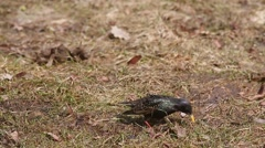 Starling looking for food among the dry grass in the early spring - stock footage