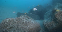 Yellow-finned bream swimming on river mouth rock wall, Acanthopagrus australis, Stock Footage