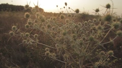 Soft Focus of the Spike and Yellow Dried Grass in the Heath during Sunset - stock footage