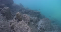 Juvenile Beaked coralfish feeding on river mouth rock wall, Chelmon rostratus, Stock Footage