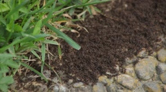 Ant Colony Stock Footage